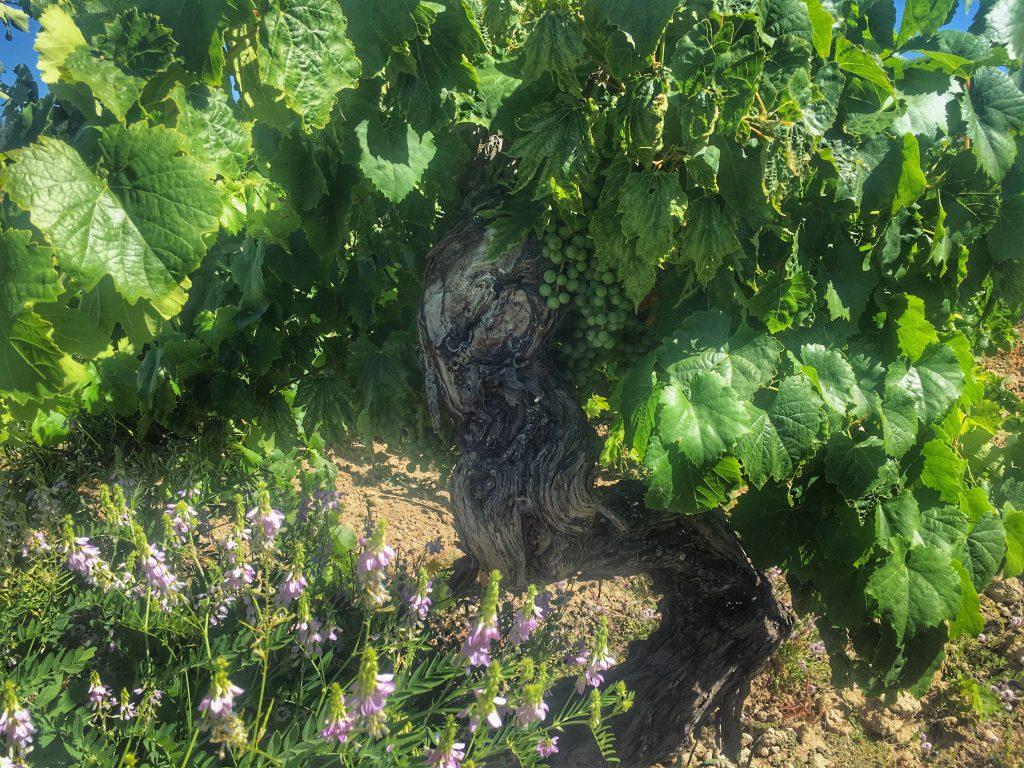 Vigno: Chile's landmark appellation comes of age