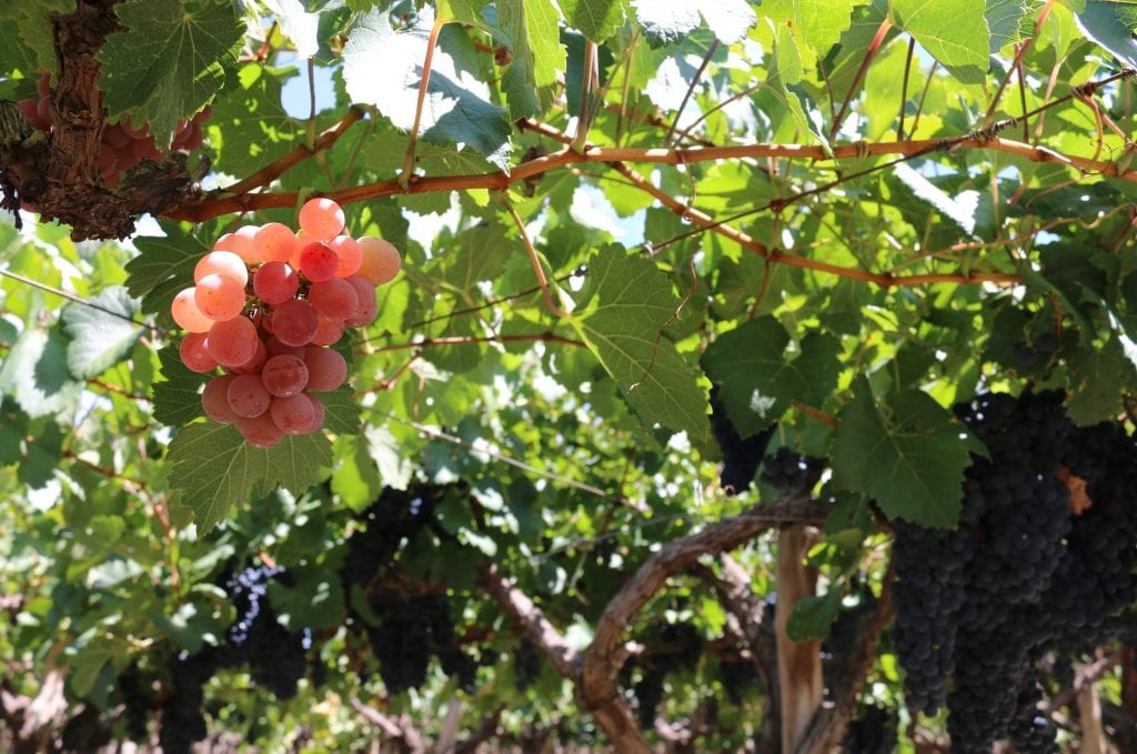 Is Criolla the quintessential South American wine?