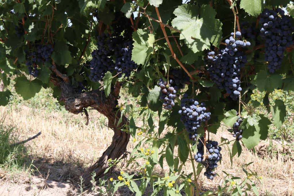 A old vine gold mine in Mendoza