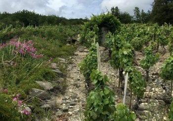 Old vines sur échalas in Boudes ©WL