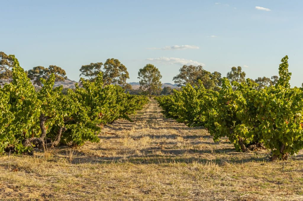 The wonderful old Grenache vines of Oz